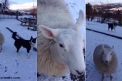 گوسفندی که فکر میکند سگ گله است +عکس