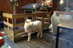 کافی شاپی با نمای گوسفند!+عکس