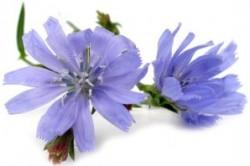گیاه دارویی کاسنی چه خواصی دارد؟