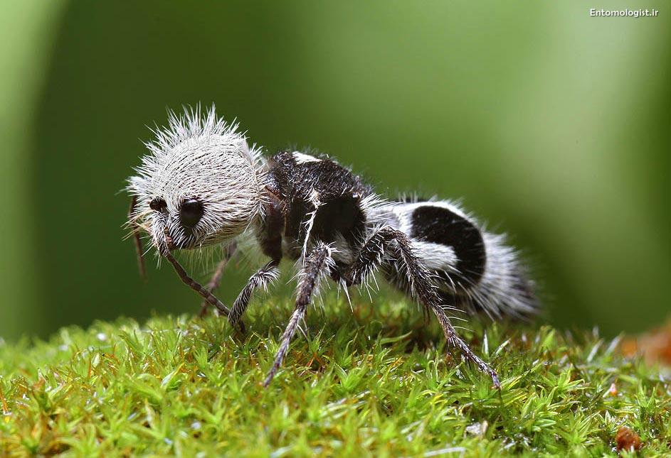 مورچهی پاندا Panda-Ant