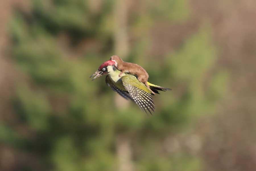 دارکوب سواری راسوی پرنده
