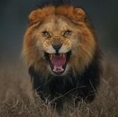 جسورانه ترین عکس دنیا از یک شیر نر!