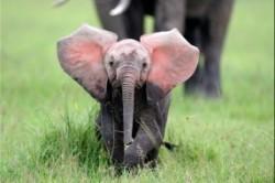 کشف فیل صورتی در آفریقا+عکس