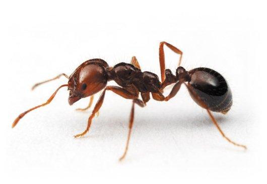 termidor-fire-ant.jpg