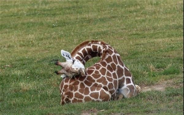 تصاویری نادر از خوابیدن زرافه