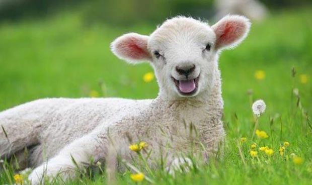 بره Lamb