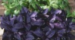 ۸ گیاه که به طور طبیعی پشهها را دفع میکند