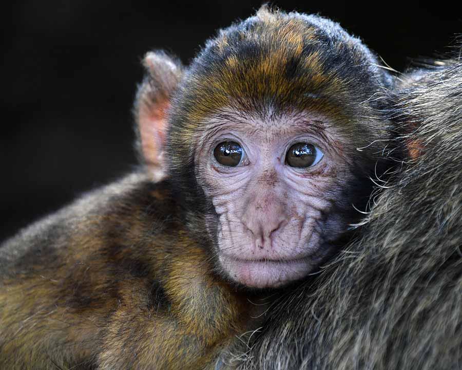 تعبیر خواب میمون