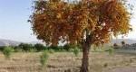 زیباترین درختان بی ثمر/عکس