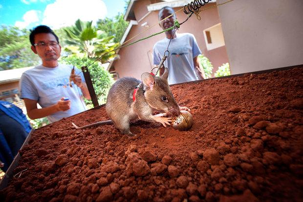 موش قهرمان مین یاب