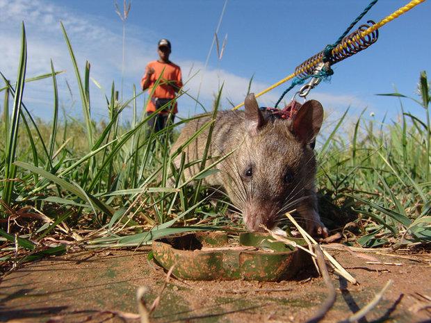 27hero-rats-bomb-demining-africa-apopo-27.jpg
