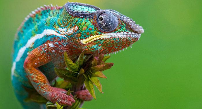 آفتاب پرست chameleon