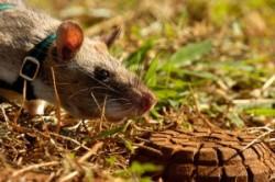 موش قهرمان؛کوچکترین مینیاب دنیا+عکس