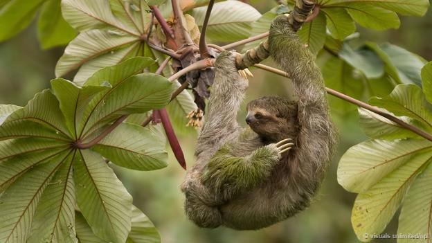 تنبل (sloth)