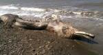 کشف موجود عجیب و ناشناخته در سواحل روسیه + عکس