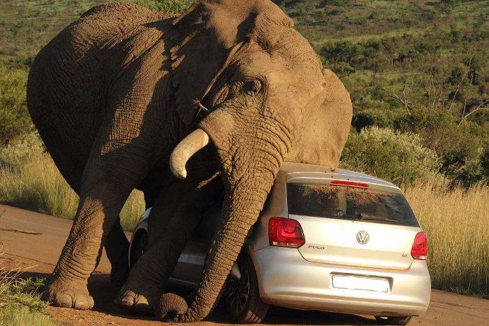 کشنده ترین حیوانات جهان,elephant car scratch 2 2014 08 08