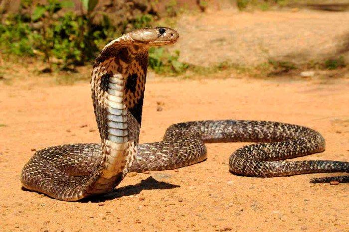 کشنده ترین حیوانات جهان,indian cobra