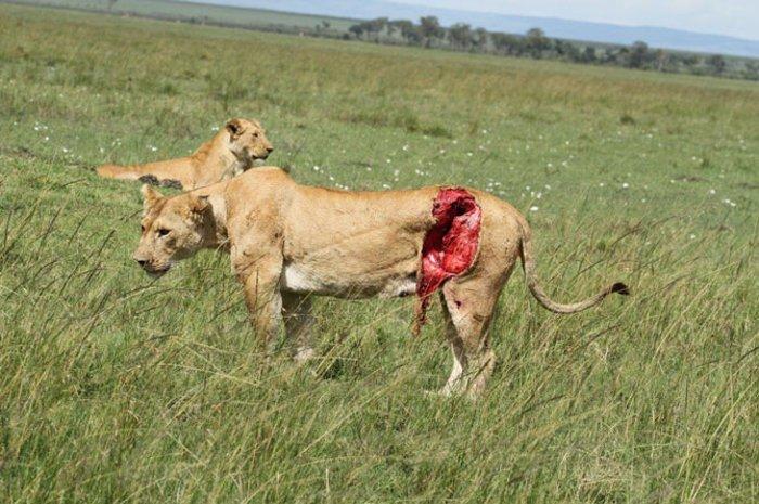 کشنده ترین حیوانات جهان,lions injury