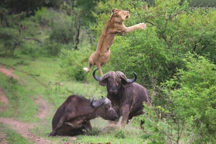 کشنده ترین حیوانات جهان,lions injury2