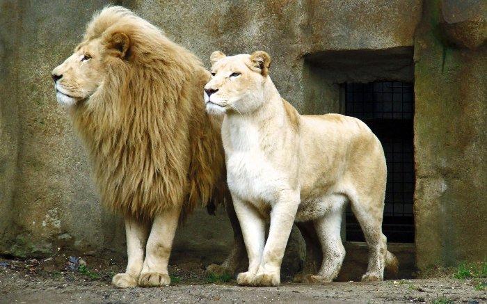 کشنده ترین حیوانات جهان,lions