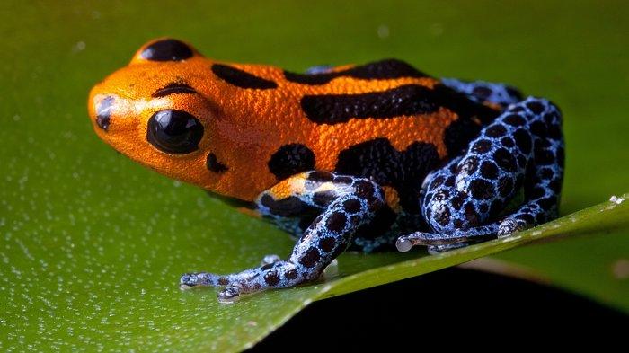 کشنده ترین حیوانات جهان,poison dart frog orange blue