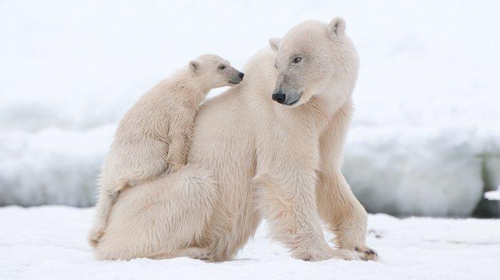 کشنده ترین حیوانات جهان,polar bear cub on mom