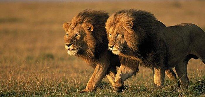 کشنده ترین حیوانات جهان,two male lions Kenya