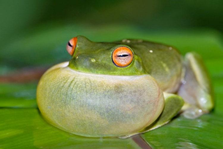 Green Frog علت سکسکه