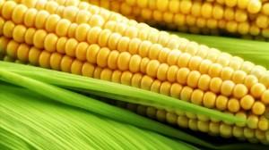 ذرت Maize