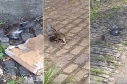 شکار کبوتر توسط موش!+عکس