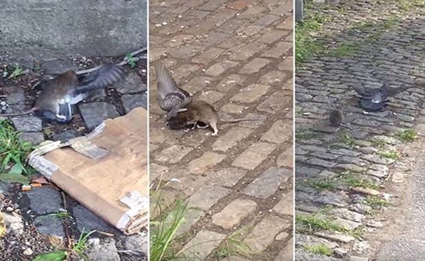 شکار موش