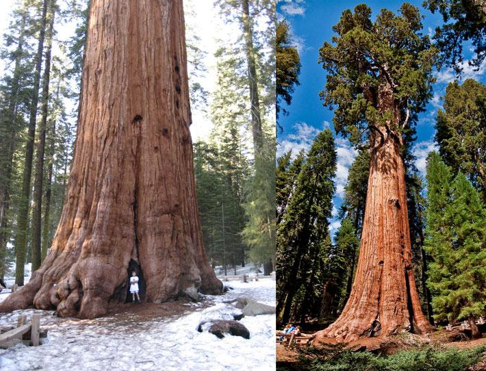 قدیمی ترین درخت دنیا,General_Sherman_tree