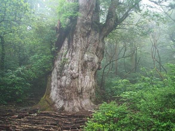Jhomonsugi-tree