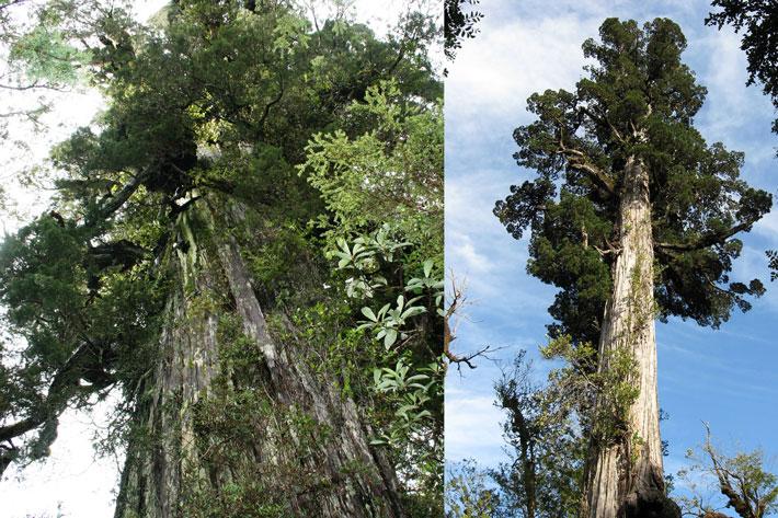 قدیمی ترین درخت دنیا,alerce
