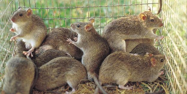 موش نیزار