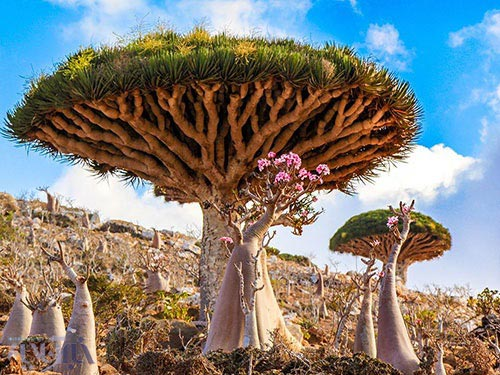 درخت Dracaena cinnabari