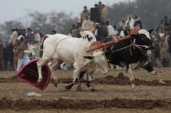مسابقه اسکی با گاو در پاکستان!+عکس