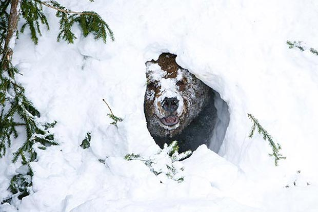 خواب زمستانی خرس Bear