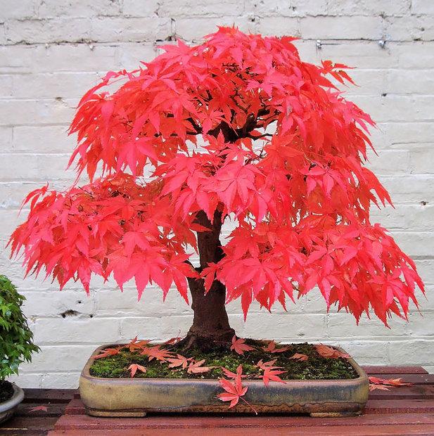 انواع مختلف درخت بن سای