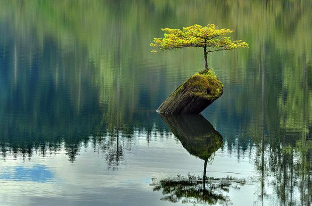 درخت بُنسای