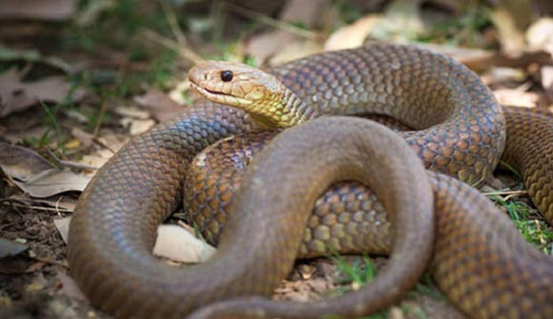 snake شاهمار قهوهای