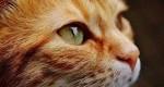 گربه و درمان سرطان تخمدان