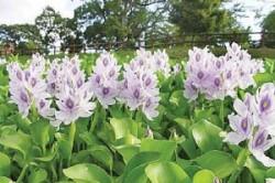 سنبل آبی؛ گلهای خطرناک در منازل گیلانیها