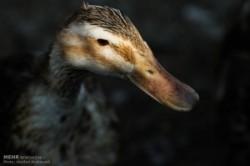 کسب درآمد با پرورش اردک