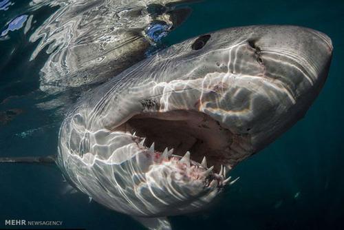 دندان های کوسه از نمای نزدیک