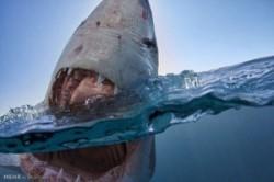 عکسهای ترسناک از دندانهای کوسه!