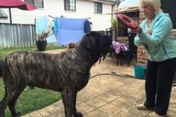 بارون؛ بزرگترین سگ استرالیا+عکس