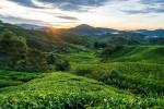 چای malaysia_tea_plantations