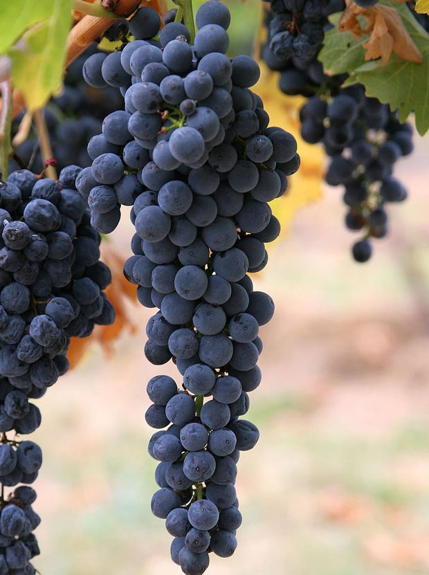 انگور شرابی wine_grapes