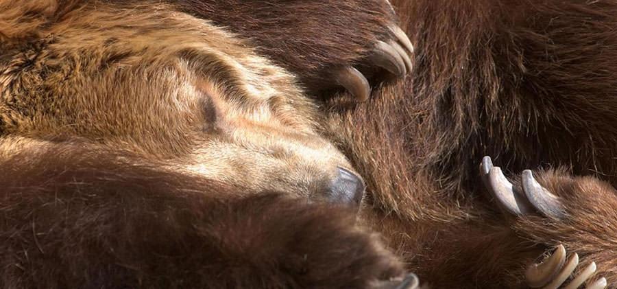 خواب زمستونی خرس